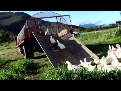 Cute Ducks Help Make Organic Wine!