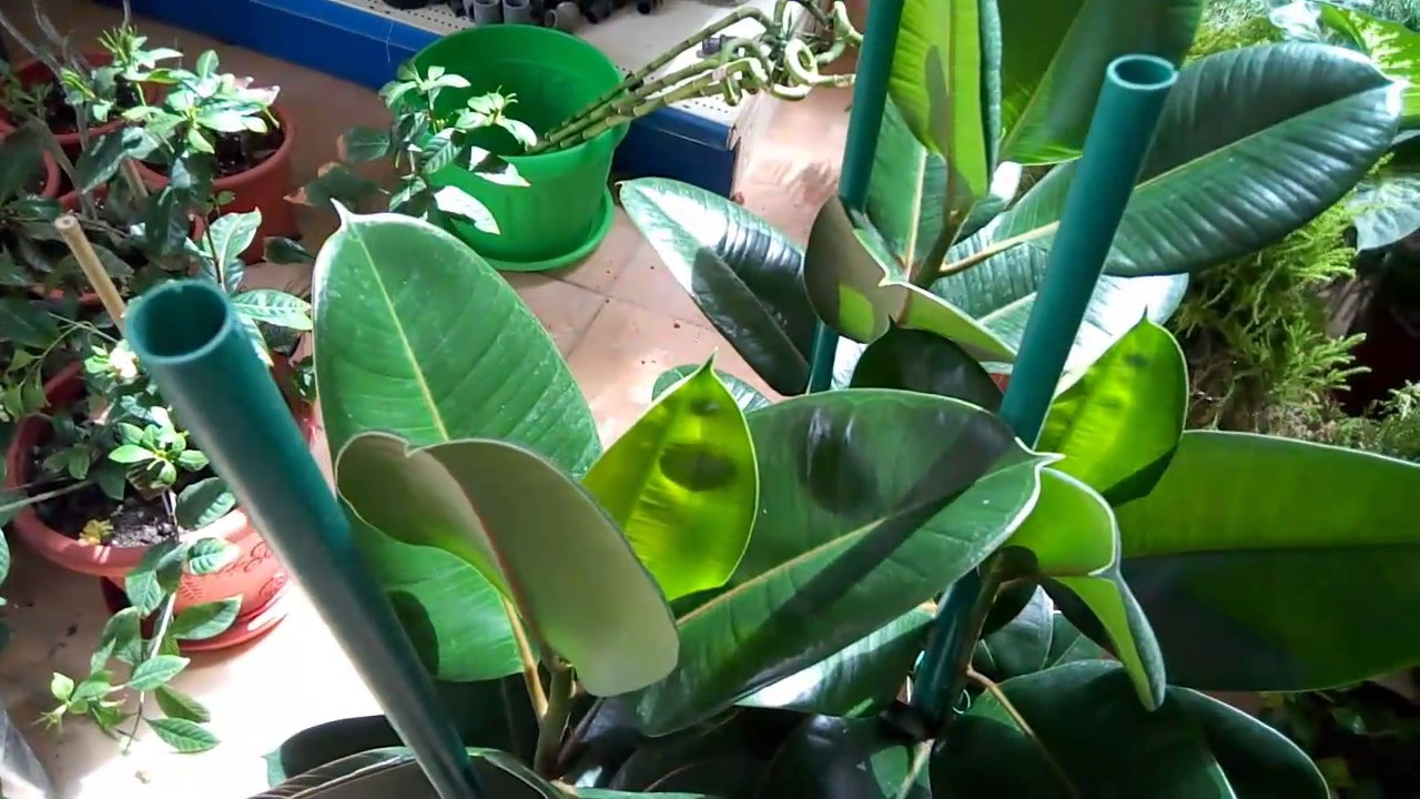 how to take care of rubber plant ficus elastica hindi urdu easy youtube. Black Bedroom Furniture Sets. Home Design Ideas