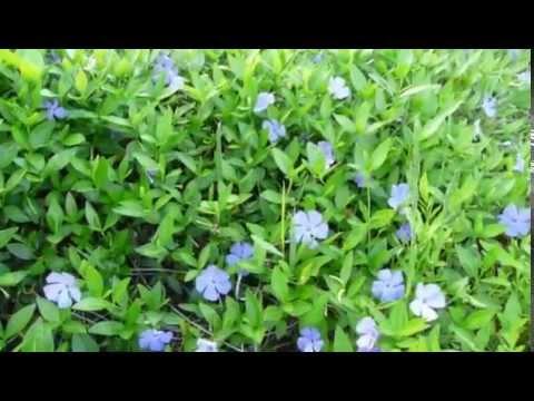 Цветет барвинок