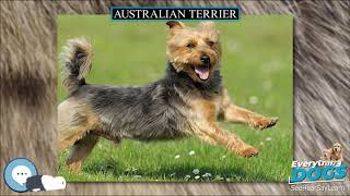 Australian Terrier  Everything Dog Breeds