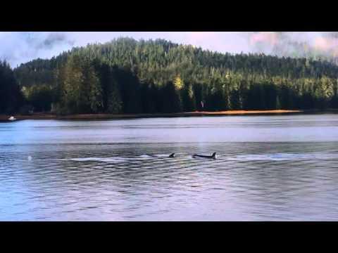 Orcas in Wrangell Narrows. #2