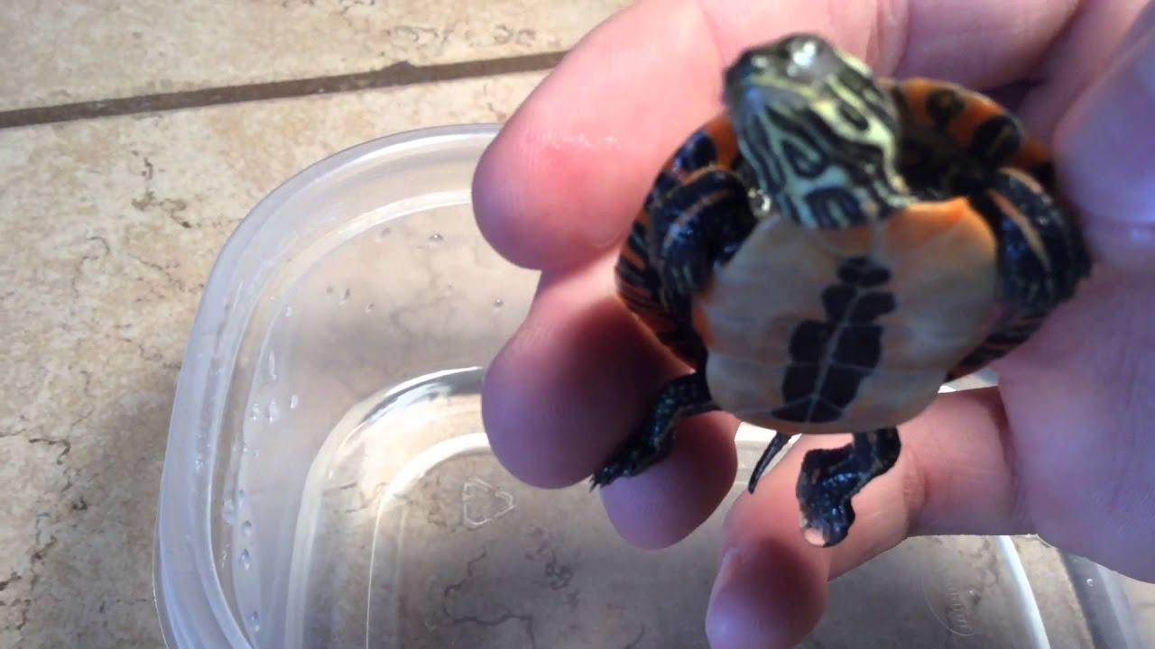 Is my turtle dead or hibernating?