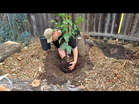 Planting Potted & Bare Root Fruit Trees