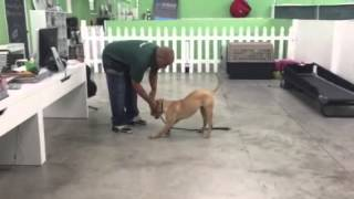 Remi - English Bulldog Mix - South Florida Board And Train - Miami Dog Training