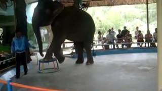 Elephant Voi làm xiếc HÓTclip vui hay nhất 2014