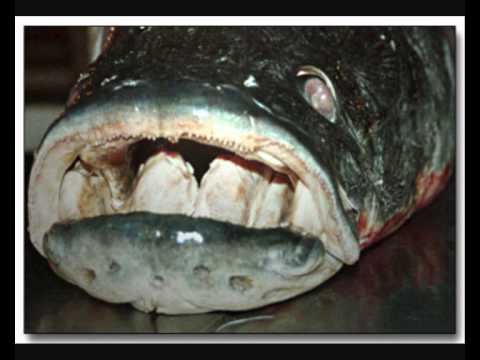 Los peces mas grandes del mundo youtube - Los peces mas bonitos del mundo ...
