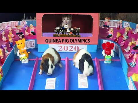 Guinea Pig Olympics Funny Cat And Guinea Pigs Relay Ever Youtube