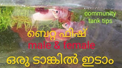 Betta fish community tank . betta Lover