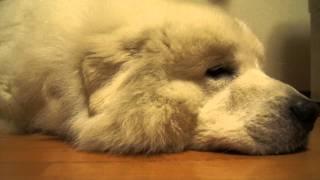 コロは眠たいようです。