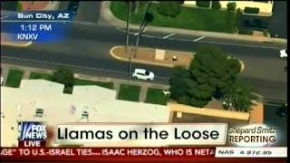 Llamas On The Loose in Sun City, Arizona - Shepard Smith Reporting Part 1