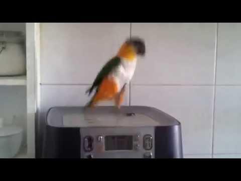 Parrot Dancing Scottish Music