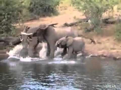 Krokodil napal na slona 240