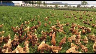 Tavuk Çiftliği Nasıl Kurulur? Tavuk Çiftliği Getirisi!