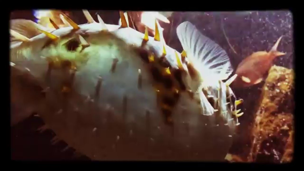Puffer stung by lionfish recipes