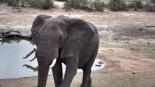 Djuma: Two Elephant bulls - 16:38 - 10/18/18 thumbnail