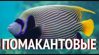 Морской Рифовый Аквариум - Помакантовые (Рыбы-Ангелы)