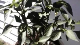 Growing jalapeno plants