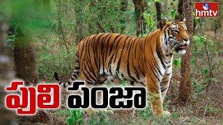hmtv Ground Report on Tigers Hulchul In Adilabad | hmtv