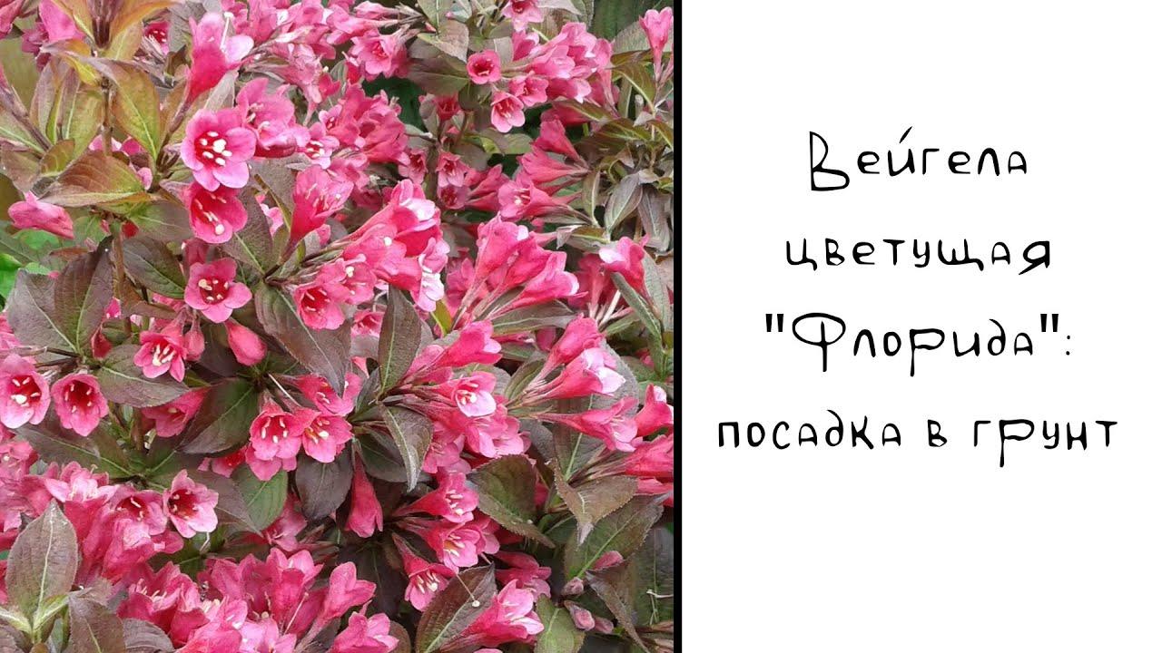 Вейгела: посадка в открытый грунт весной