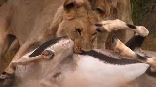 World Lion's Day 10 August