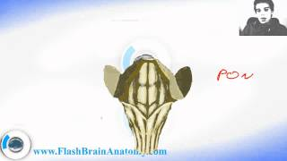 Lessons And 3D Anatomy Software: Brain Stem Anatomy