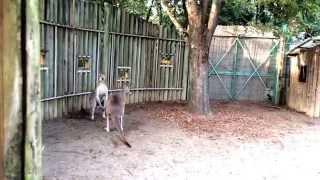 某動物園でのカンガルーのマジ喧嘩 子供にはトラウマになりそうです。 ...