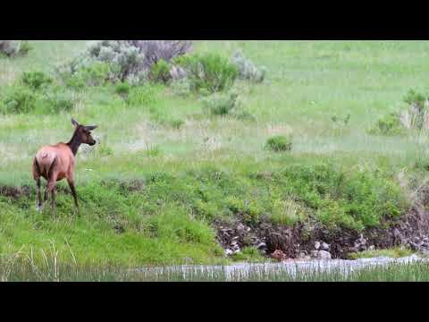 Elk Calf Washes Down River
