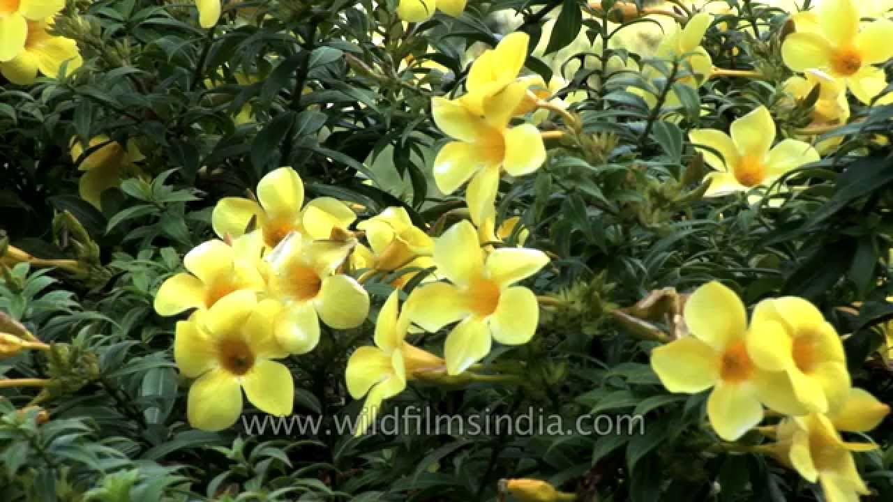 This Allamanda in India has deep yellow flowers - YouTube