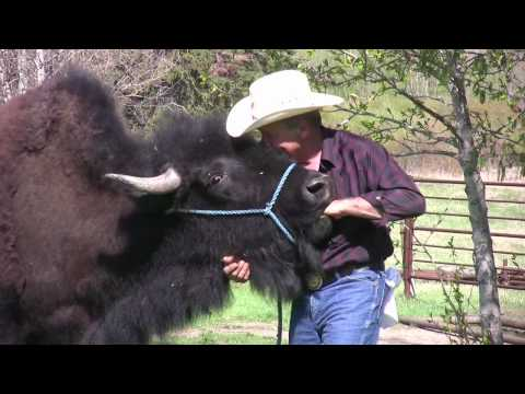 Buffalo makes unusual house pet