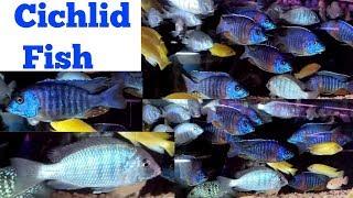 Cichlid Fish at Lake Land Fish Shop Kurla