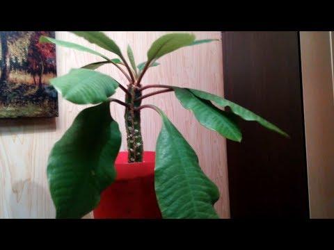 Молочай Беложильчатый-7. Обзор – большие и маленькие растения