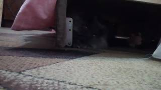 Кот перс