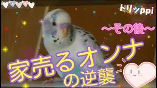 セキセイインコ☆トリッppi( ^∋^) 今回も額縁の上からおしゃべり   今お...