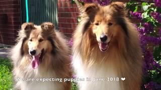 DOG VLOG: В июне 2018 ожидаем чудесных щенков колли длинношёрстный