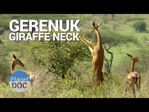 Gerenuk. Giraffe Neck   Nature - Planet Doc Full Documentaries