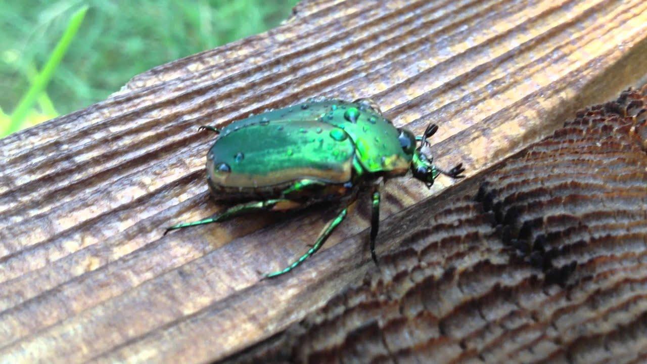 Beetles In Arizona