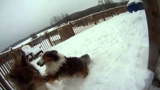 Collies playing in the snow