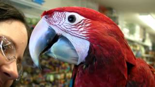 Our Baby Green wing Macaw 5th Visit Hatched 3-21-14 About 15 weeks old