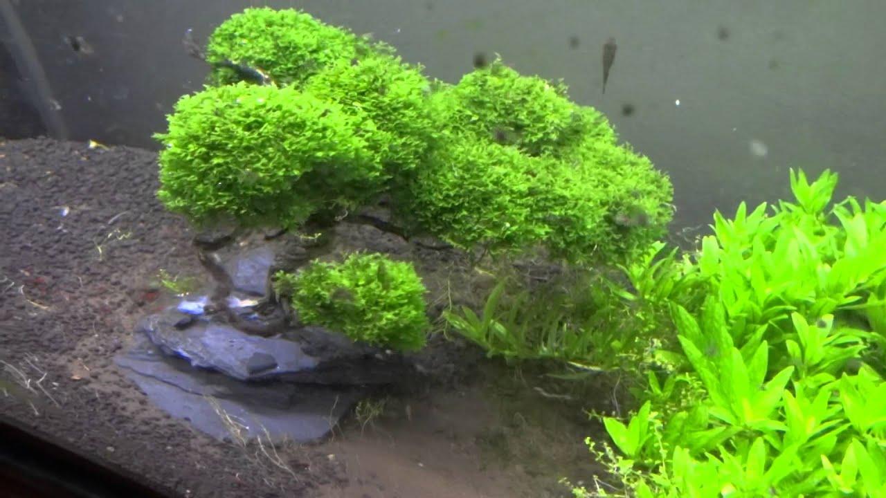 Mini pellia bonsai tree in my nature aquarium youtube for Fish tank tree