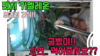 파충류 최고의 간식!! 카멜레온 굼벵이 첫 먹이피딩 시…