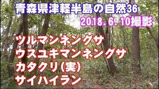 津軽半島の山野草36(ツルマンネングサ・ウスユキマンネングサ・カタクリの実・サイハイラン)