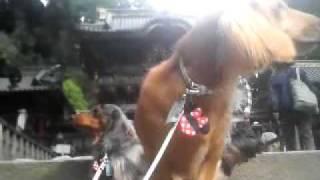 日光東照宮は犬も入れます 陽明門の前で記念撮影のハズが・・