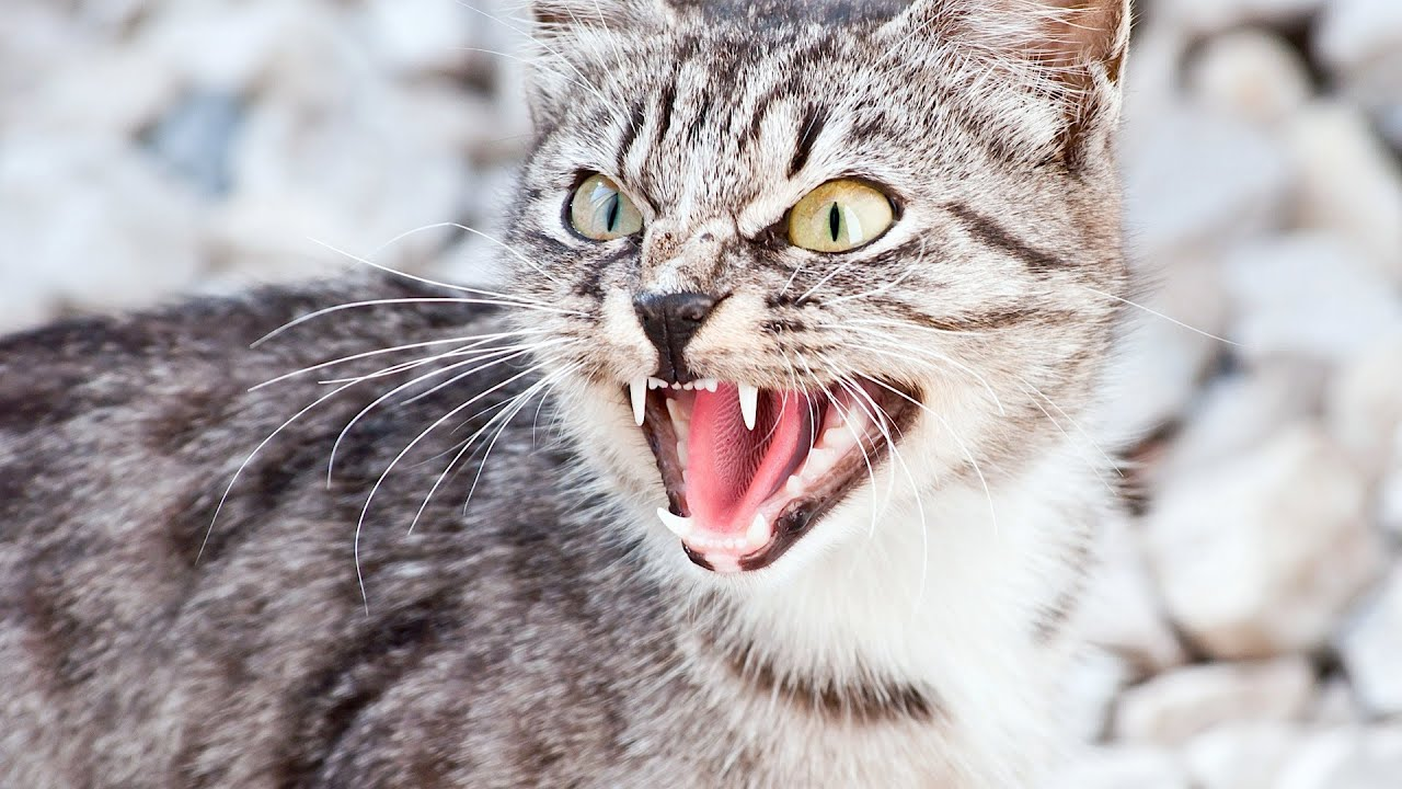 feral cat behavior meow