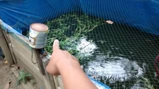 vuclip Ternak Ikan Di Lahan Sempit