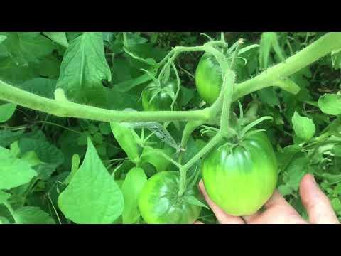 Томаты в июне/ ошибки при выращивании