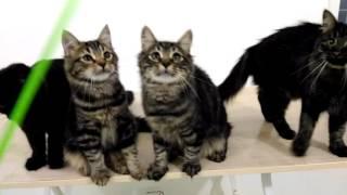 Сибирские котята с мамой