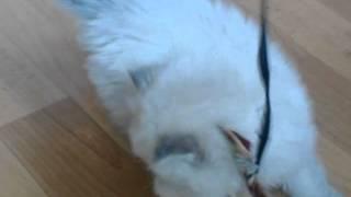 Смешные котята персов! Подборка!