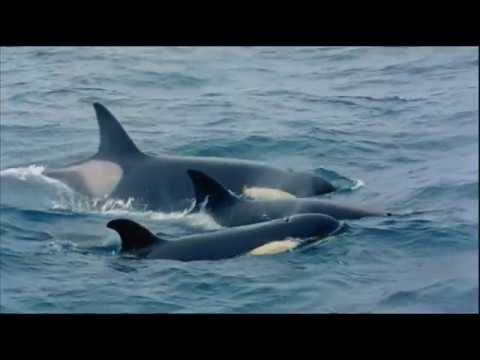 Дикая природа России  Камчатка   National Geographic Full HD 1080