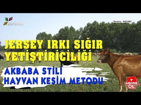 Benim Çiftliğim - Jersey Irkı Sığır Yetiştiriciliği