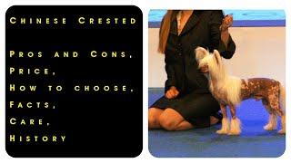 Chinese Crested. Pros and Cons, Price, How to choose, Facts, Care, History
